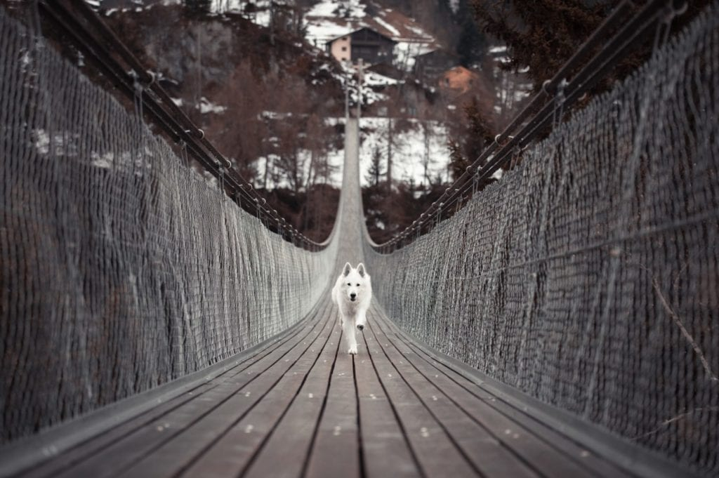 white dog running across bridge with courage and confidence