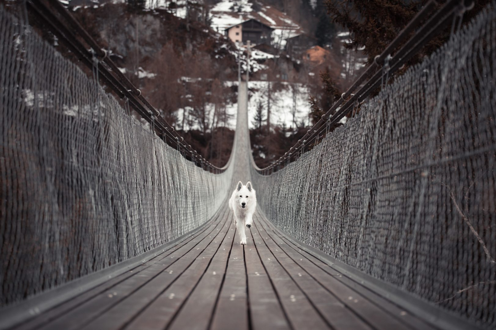 white dog running across bridge